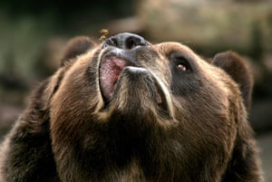 Animals of year: Buzz off: a Kodiak bear is pestered by a bee at Buffalo Zoo, New York