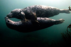 Animals of year: Seal with a kiss: Grey seals play underwater by the Farne Islands off the N