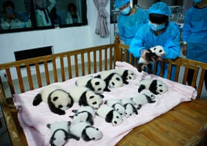 Animals of year: The little on said roll over: A breeder puts a giant panda cub into a crib