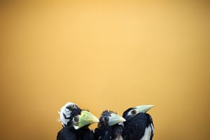 Animals of year: Three 2-month old Oriental Pied Hornbills are displayed at the Jurong Bird