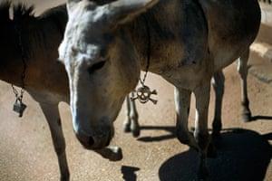 Animals of year: A Malian donkey sports a skull chain as it walks in Gao,