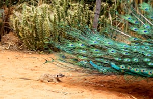 Animals of year: Jan the meerkat plays with Harvey the peacock at Okambara Lodge in Okambara