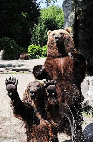 Animals of year: Kamchatka brown bears play catch at Hagenbeck Zoo, Hamburg, Germany