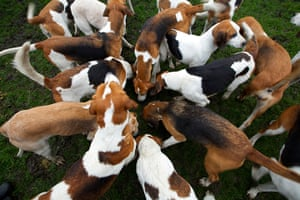 Boxing day hunt: Hounds sniff the ground