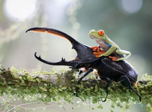 20 Photos: A red-eyed tree frog clings to a hercules beetle, Costa Rica