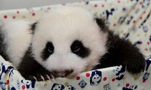 Chinese panda cub