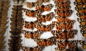 A collection of butterflies at the Grant Museum of Zoology
