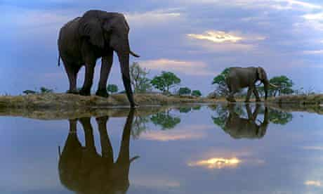 African elephants Drinking at Dusk