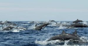 Dolphin Megapod: spinner dolphins