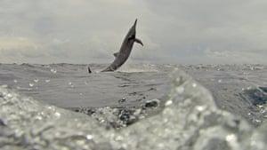 Dolphin Megapod: Spy Dolphin