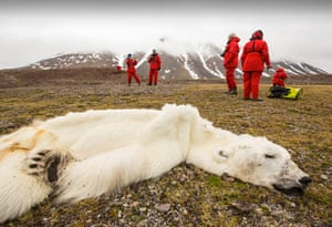Extreme weather: polar bear died of starvation