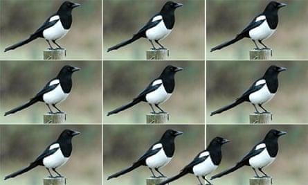 10 magpies