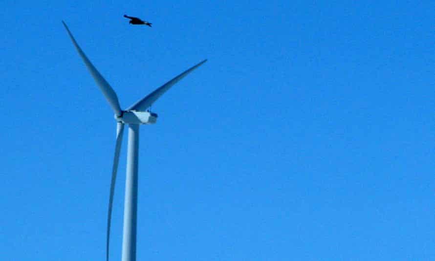 A golden eagle flies over a wind turbine