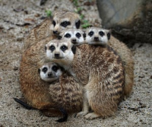 Group hug: The meerkats know how to stay cosy on a cold winter's day at Indonesia's Centre for Reproduction of Endangered Wildlife.