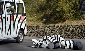 A zookeeper prods a person acting as a tranquilized zebra during a drill to practice what to do in the event of an animal escape at the Tama zoo in Tokyo, Japan. Yes, it's a mad world.