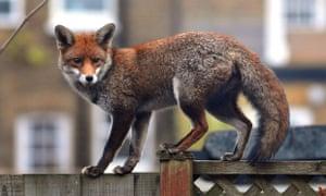 A fox in suburbia