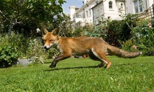 A fox in suburbia: not so fantastic for some.