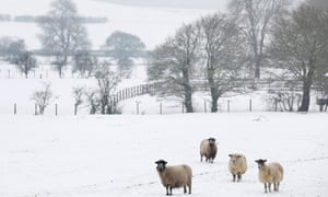 Sheep in a field after a snowfall in Postling, south east England, today.