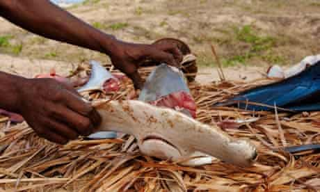 Shark fin harvesting in Mozambique