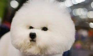 A Bichon Frise stands in the grooming area during the 137th Westminster Kennel Club dog show in New York. More than 2,700 prized dogs will be on display at the annual canine competition.