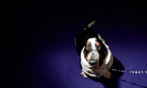A basset hound named Buddy waits to compete.