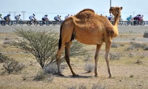 A Camel watches the peloton pass.