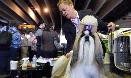 Shih Tzu, 2013 Westminster Dog Show