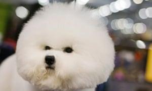 Bichon Frise, Westminster Dog Show 2013
