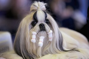 Westminster Dog Show: Westminster Kennel Club Dog Show Crowns King Of The Canines