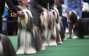 Westminster Dog Show: Bearded collies line up to be judged