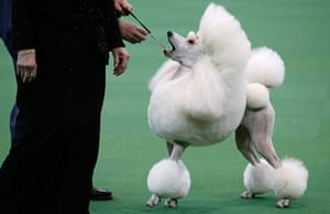 Westminster Dog Show: A Standard Poodle is judged during competition
