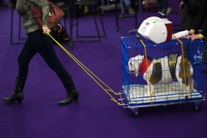 Westminster Dog Show: A woman pulls a cart with an English Bulldog on it