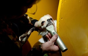 Westminster Dog Show: A chihuahua named Pinky is shaved with an electric razor