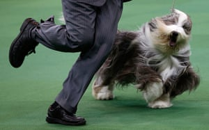 Westminster Dog Show: A Bearded Collie runs during competition