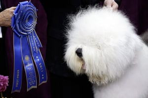 Westminster Dog Show: Swagger, an Old English Sheep Dog
