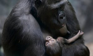 New kid on the block: A gorilla holds her week old baby in Moscow Zoo, Russia.