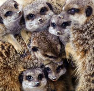 Meerkats warm up at Mulhouse zoo. Heavy snowfall hit large parts of France this weekend, causing major disruptions to air, road and rail transport.