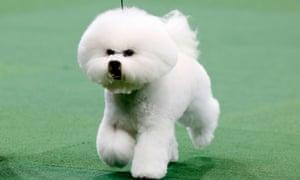 Honor Bichon Frise Westminster Dog show 2013