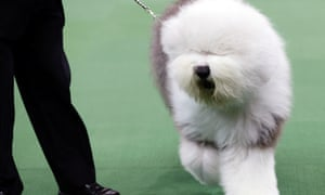 Swagger Westminster dog show 2013