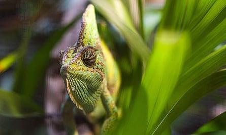 A chameleon on a leaf