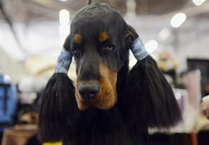 20 Photos: Teddy, a Gordon Setter, is groomed at the Westminster Dog Show, in New York