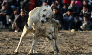 Afghanistan dog fighting