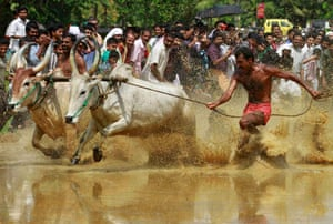 """A farmer controls his pair of oxen as they race through a paddy field during the """"Kakkoor Kalavayal"""" festival at Kakkoor village, near the southern Indian city of Kochi. The post-harvest festival is celebrated by the farmers of Kakkoor and the surrounding villages."""