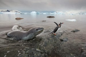 Leopard seal gallery: Hunting With A Leopard Seal