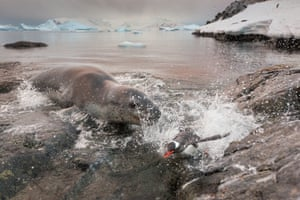 Leopard seal gallery: A leopard seal chases a Gentoo penguin