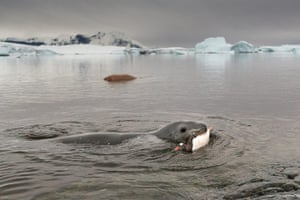 Leopard seal gallery: A Leopard seal bites into a Gentoo penguin