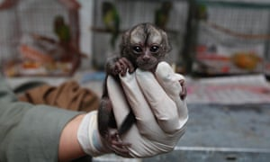 A night monkey sits in a veterinarian's palm at a temporary shelter west of Bogota, Colombia.  Sponsored by Bogota's Ministry of Environment, the shelter receives between 3,000 and 3,500 wild animals a year. 70% of rescued animals are reintroduced to their habitat and the remaining 30% are sent to zoos around the country.