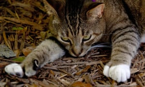 A six-toed cat, one of many that reside at the home of author Ernest Hemingway in Key West, Florida. Hemingway was given a white six-toed cat by a ship's captain and some of the cats who live on the museum grounds are descendants of the original cat, named Snowball.
