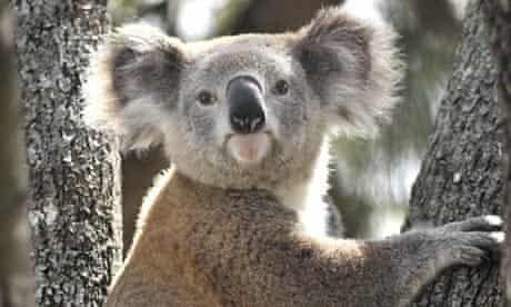 A Koala rescued in Sydney, Australia