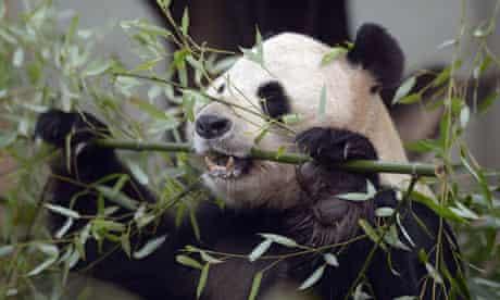Yang Guang, male giant panda, Edinburgh Zoo